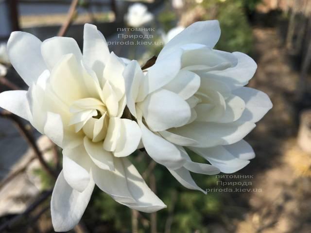 Магнолия звёздчатая Роял Стар (Magnolia stellata Royal Star) ФОТО Питомник растений Природа (Priroda) (184)