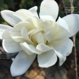 Магнолия звёздчатая Роял Стар (Magnolia stellata Royal Star) ФОТО Питомник растений Природа (Priroda) (185)