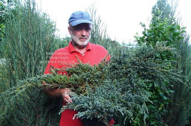 Ялівець лускатий Блю Карпет (Juniperus squamata Blue Carpet) ФОТО Розплідник рослин Природа (Priroda) (275)