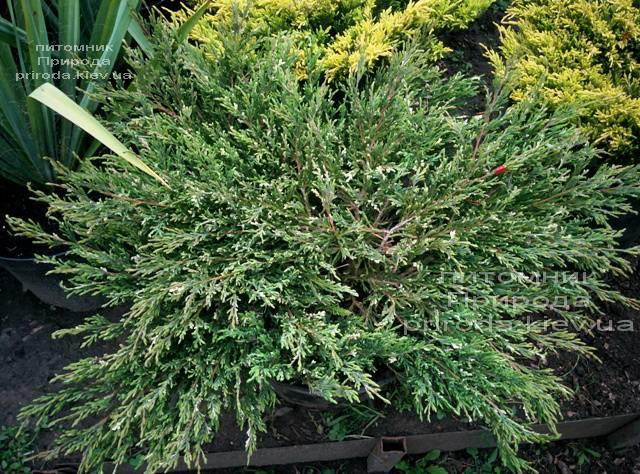 Можжевельник горизонтальный Андорра Компакт Вариегата ФОТО Питомник растений Природа (266)