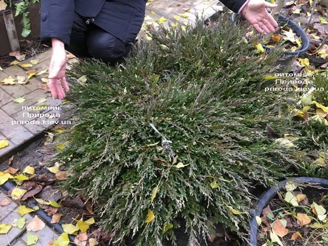 Можжевельник горизонтальный Андорра Компакт Вариегата ФОТО Питомник растений Природа (267)