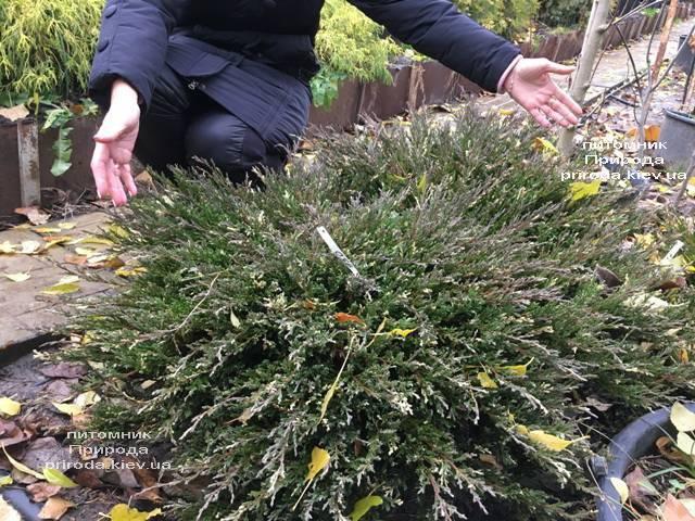 Можжевельник горизонтальный Андорра Компакт Вариегата ФОТО Питомник растений Природа (268)