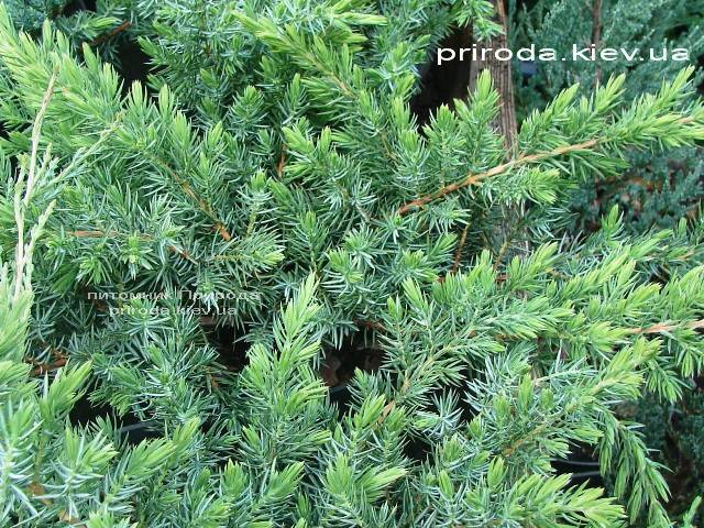 Ялівець прибережний Шлягер (Juniperus conferta Schlager) ФОТО Розплідник рослин Природа (Priroda) (280)