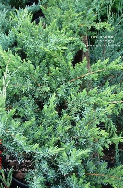 Ялівець прибережний Шлягер (Juniperus conferta Schlager) ФОТО Розплідник рослин Природа (Priroda) (282)