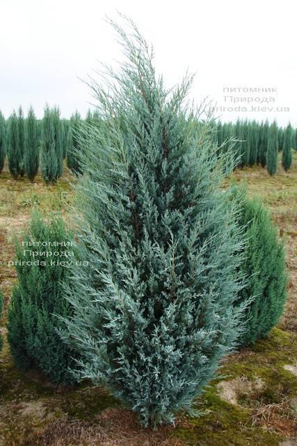 Ялівець скельний Мунглов (Juniperus scopolorum Moonglow) ФОТО Розплідник рослин Природа (Priroda) (276)