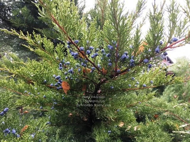 Ялівець середній / пфітцеріана Мінт Джулеп (Mint Julep) взимку ФОТО розплідник рослин Природа (Priroda) (292)