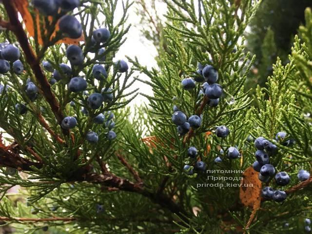 Можжевельник средний / пфитцериана Минт Джулеп (Mint Julep) зимой ФОТО Питомника растений Природа (Priroda) (289)