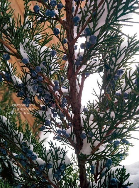 Можжевельник средний / пфитцериана Минт Джулеп (Mint Julep) зимой ФОТО Питомника растений Природа (Priroda) (290)