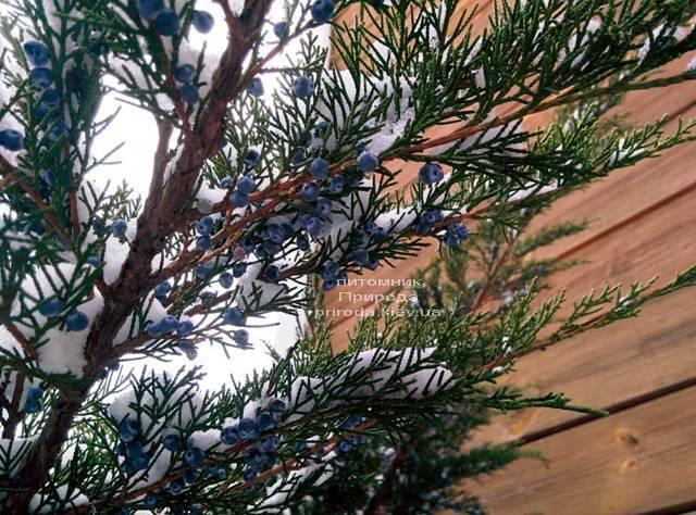 Ялівець середній / пфітцеріана Мінт Джулеп (Mint Julep) взимку ФОТО розплідник рослин Природа (Priroda) (293)