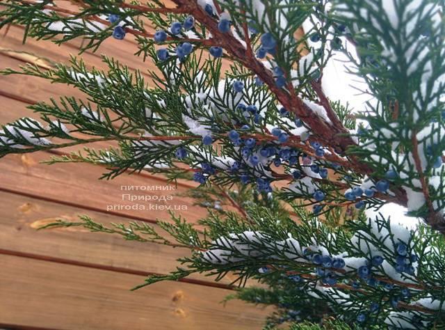 Можжевельник средний / пфитцериана Минт Джулеп (Mint Julep) зимой ФОТО Питомника растений Природа (Priroda) (291)