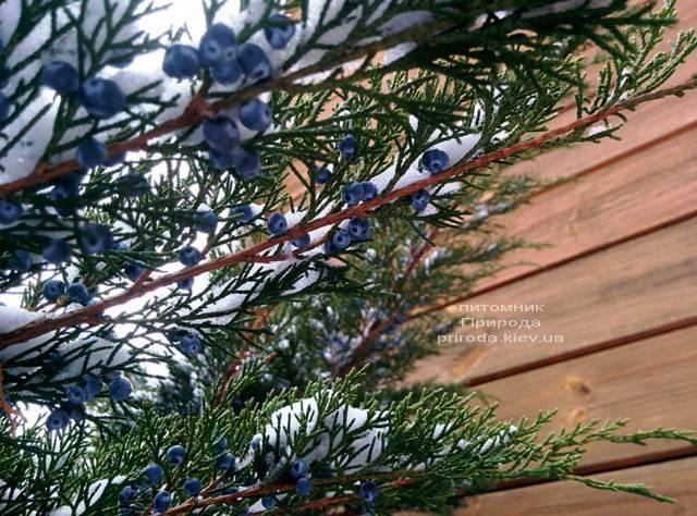 Ялівець середній / пфітцеріана Мінт Джулеп (Mint Julep) взимку ФОТО розплідник рослин Природа (Priroda) (294)