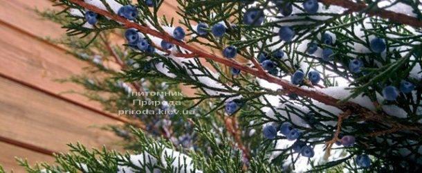 Можжевельник средний / пфитцериана Минт Джулеп (Mint Julep) зимой ФОТО Питомника растений Природа (Priroda) (288)
