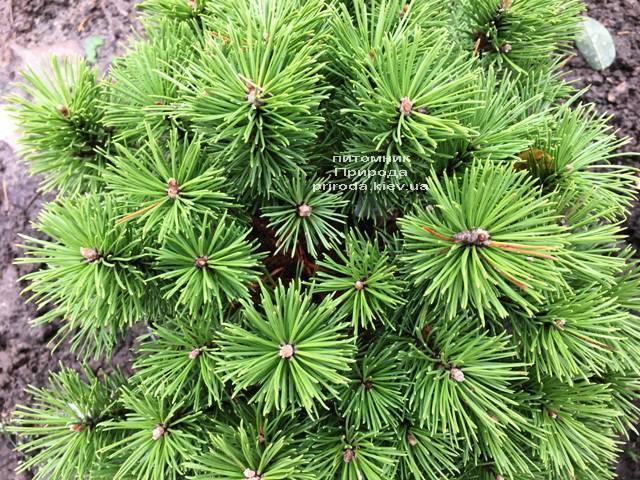 Сосна горная Бенжамин (Pinus mugo Benjamin) ФОТО Питомник растений Природа (Priroda) (143)