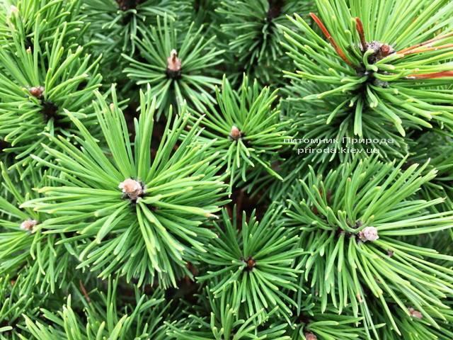 Сосна горная Бенжамин (Pinus mugo Benjamin) ФОТО Питомник растений Природа (Priroda) (145)