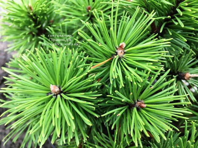 Сосна горная Бенжамин (Pinus mugo Benjamin) ФОТО Питомник растений Природа (Priroda) (147)