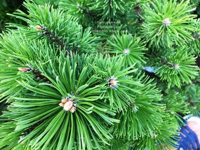 Сосна гірська Мумпіц (Pinus mugo Mumpitz) ФОТО Розплідник рослин Природа (Priroda) (129)