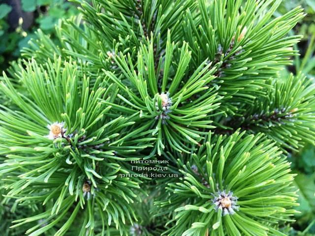 Сосна гірська Мумпіц (Pinus mugo Mumpitz) ФОТО Розплідник рослин Природа (Priroda) (130)