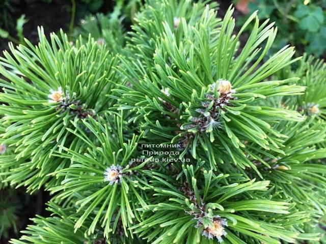 Сосна гірська Мумпіц (Pinus mugo Mumpitz) ФОТО Розплідник рослин Природа (Priroda) (131)