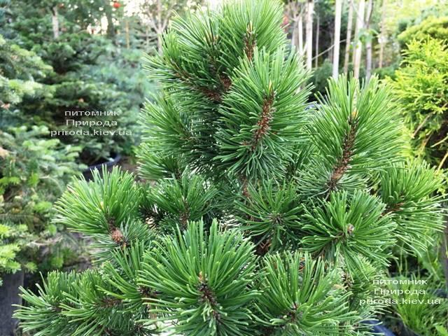 Сосна гірська Мумпіц (Pinus mugo Mumpitz) ФОТО Розплідник рослин Природа (Priroda) (134)