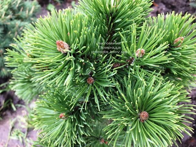 Сосна гірська Мумпіц (Pinus mugo Mumpitz) ФОТО Розплідник рослин Природа (Priroda) (135)