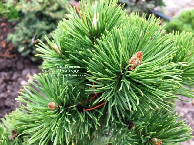 Сосна гірська Мумпіц (Pinus mugo Mumpitz) ФОТО Розплідник рослин Природа (Priroda) (136)