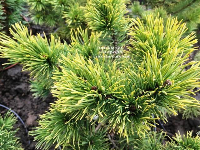 Сосна горная Винтер Голд (Pinus mugo Winter Gold) ФОТО Питомник растений Природа (Priroda) (138)