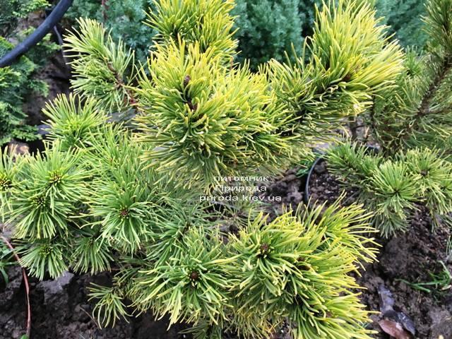 Сосна горная Винтер Голд (Pinus mugo Winter Gold) ФОТО Питомник растений Природа (Priroda) (139)