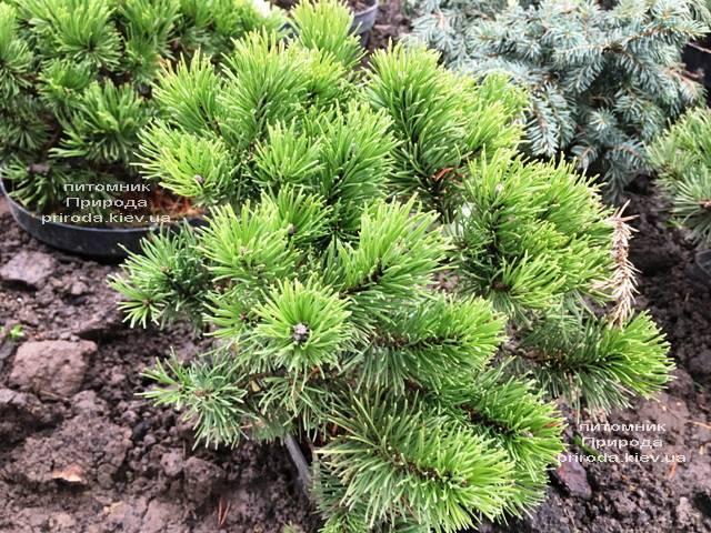 Сосна горная Винтер Голд (Pinus mugo Winter Gold) ФОТО Питомник растений Природа (Priroda) (140)