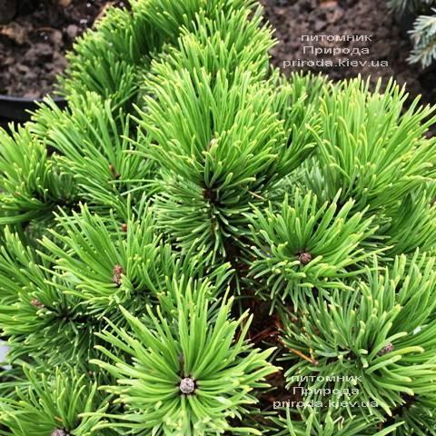 Сосна горная Винтер Голд (Pinus mugo Winter Gold) ФОТО Питомник растений Природа (Priroda) (142)