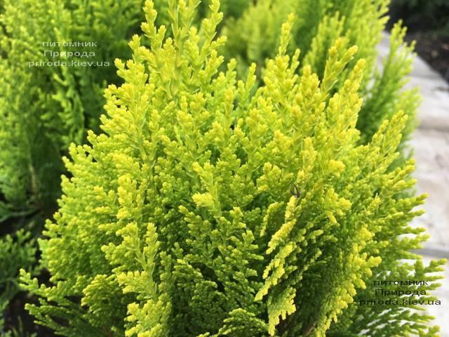 Туя восточная Морган (Thuja orientalis Morgan) ФОТО Питомник растений Природа (Priroda) (93)