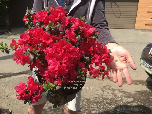 Азалия японская Фридолайн (Rhododendron Fridoline) ФОТО Питомник растений Природа (Priroda) (3)