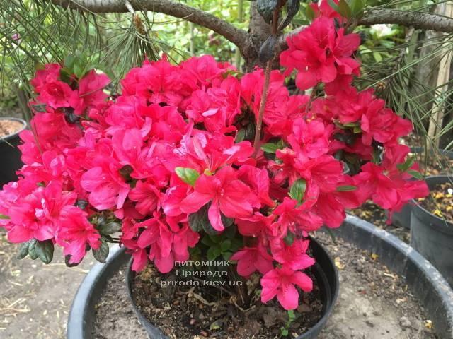 Азалія японська Марушка (Rhododendron Marushka) ФОТО Розплідник рослин Природа (Priroda) (3)