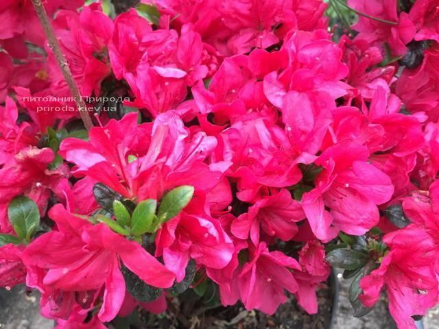 Азалія японська Марушка (Rhododendron Marushka) ФОТО Розплідник рослин Природа (Priroda) (5)