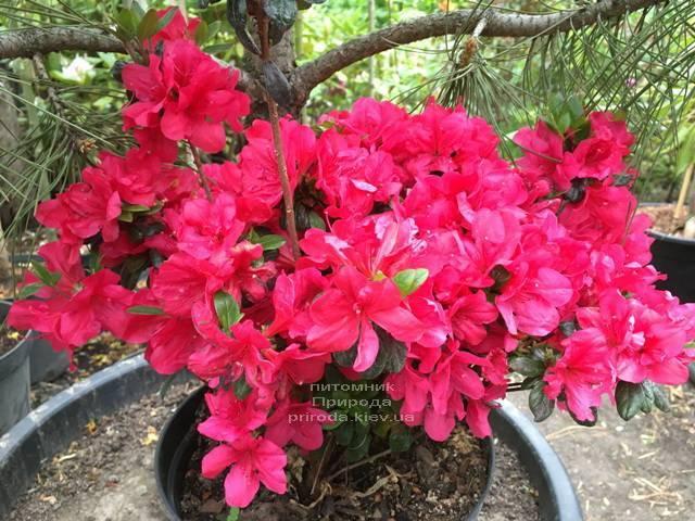 Азалія японська Марушка (Rhododendron Marushka) ФОТО Розплідник рослин Природа (Priroda) (6)