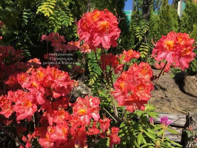 Азалия крупноцветковая Джуанита (Рододендрон листопадный Rhododendron Juanita) ФОТО Питомник растений Природа (Priroda) (113)