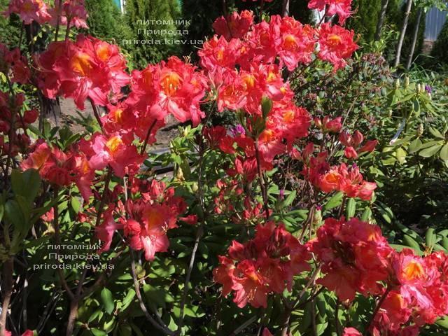 Азалия крупноцветковая Джуанита (Рододендрон листопадный Rhododendron Juanita) ФОТО Питомник растений Природа (Priroda) (115)