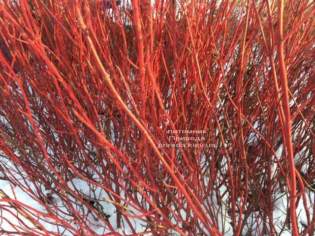 Дерен белый Элегантиссима (Cornus alba Elegantissima) ФОТО Питомник растений Природа (Priroda) (40)