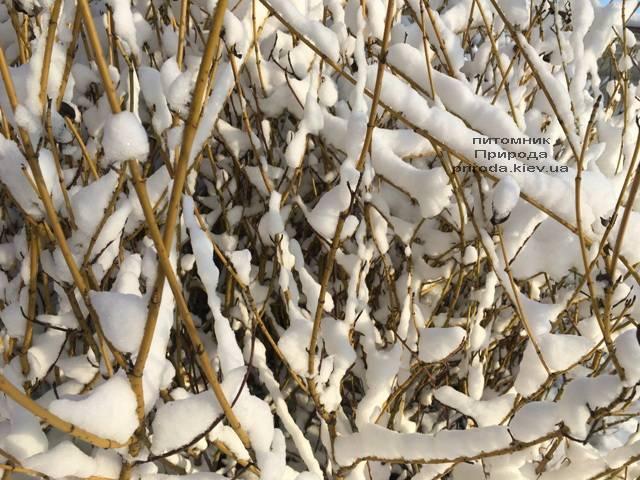 Дерен отпрысковый Флавирамеа (Cornus stolonifera Flaviramea) ФОТО Питомник растений Природа (Priroda) (43)