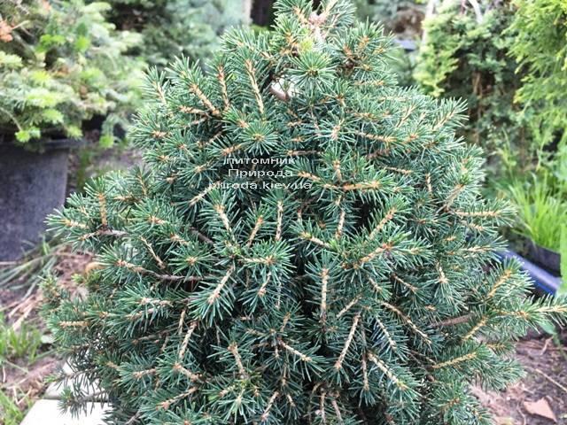 Ель обыкновенная Данс Дварф (Picea abies Dan's Dwarf) ФОТО Питомник растений Природа (Priroda) (349)