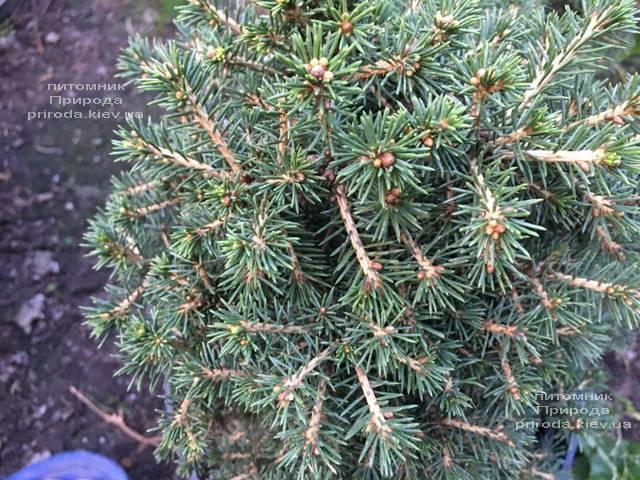 Ель обыкновенная Данс Дварф (Picea abies Dan's Dwarf) ФОТО Питомник растений Природа (Priroda) (351)