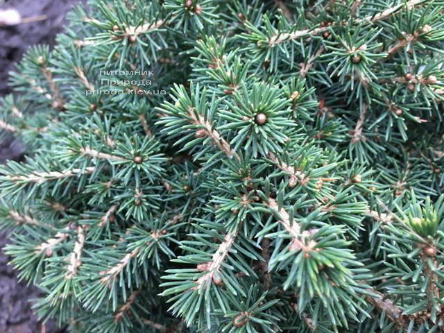 Ель обыкновенная Данс Дварф (Picea abies Dan's Dwarf) ФОТО Питомник растений Природа (Priroda) (354)