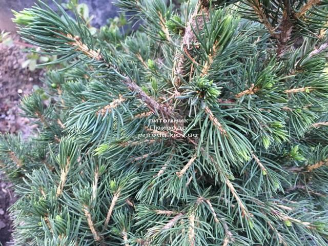 Ялина звичайна Томпа (Picea abies Tompa) ФОТО Розплідник рослин Природа (Priroda) (355)