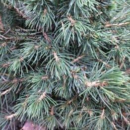 Ялина звичайна Томпа (Picea abies Tompa) ФОТО Розплідник рослин Природа (Priroda) (356)