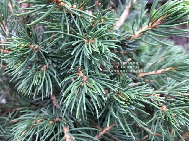 Ялина звичайна Томпа (Picea abies Tompa) ФОТО Розплідник рослин Природа (Priroda) (357)
