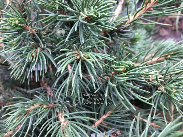 Ялина звичайна Томпа (Picea abies Tompa) ФОТО Розплідник рослин Природа (Priroda) (358)