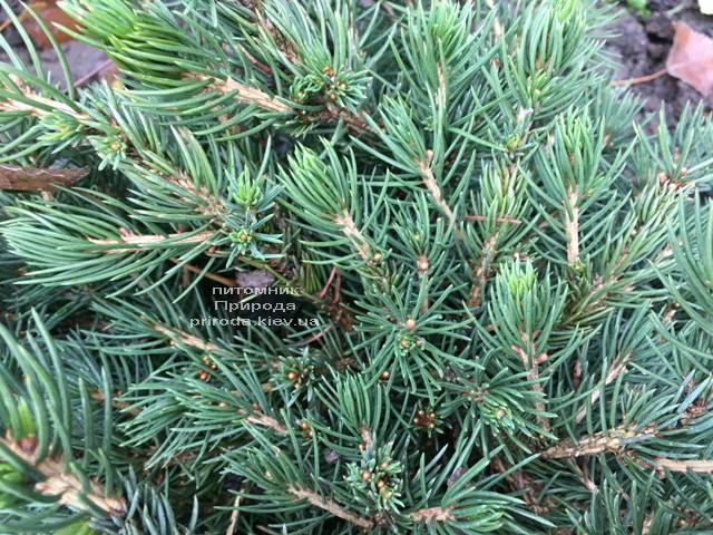 Ялина звичайна Томпа (Picea abies Tompa) ФОТО Розплідник рослин Природа (Priroda) (359)