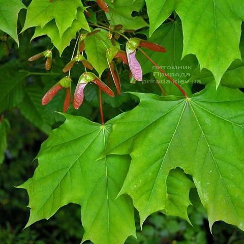 Клен остролистный (Acer platanoides) ФОТО Питомник растений Природа (Priroda) (43)