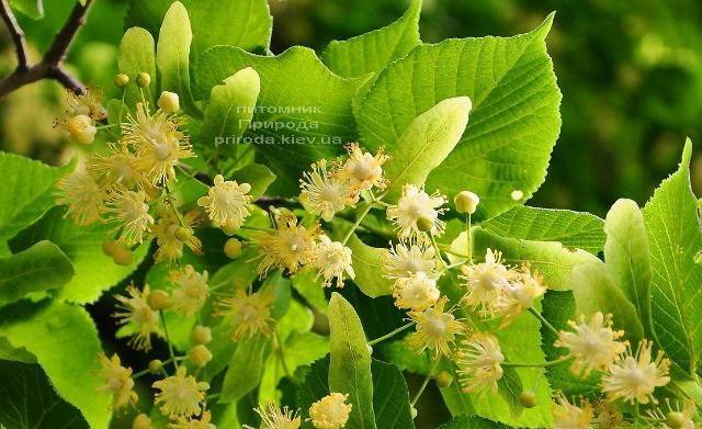 Липа дрібнолиста (Tilia cordata) ФОТО Розплідник рослин Природа (Priroda) (31)