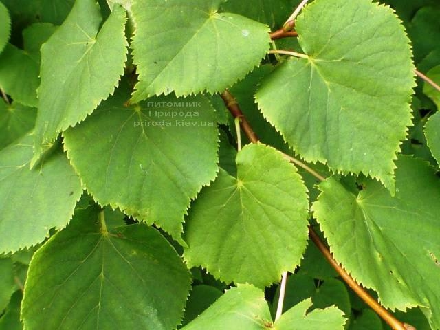 Липа дрібнолиста (Tilia cordata) ФОТО Розплідник рослин Природа (Priroda) (32)