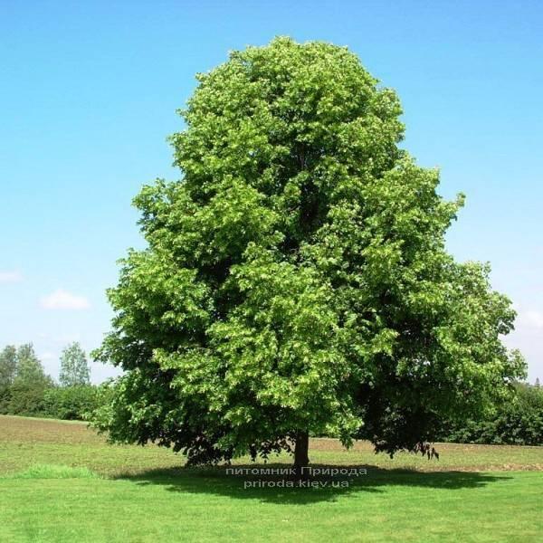 Липа дрібнолиста (Tilia cordata) ФОТО Розплідник рослин Природа (Priroda) (34)